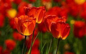 Fotos Nahaufnahme Tulpen Unscharfer Hintergrund Rot Blumen