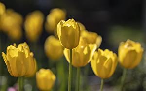 Bureaubladachtergronden Close-up Tulpen Onscherpe achtergrond Geel kleur Bloemen