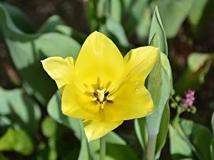 Fotos Hautnah Tulpen Gelb Blüte