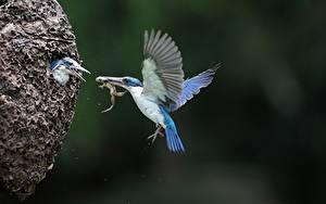 Hintergrundbilder Eisvogel Frosche Vogel Flug Unscharfer Hintergrund Flügel Nest ein Tier