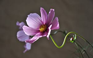 Hintergrundbilder Schmuckkörbchen Großansicht Unscharfer Hintergrund Rosa Farbe Blumen