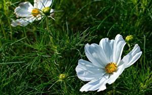 Hintergrundbilder Kosmeen Großansicht Weiß Knospe Blüte