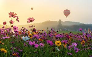 Hintergrundbilder Kosmeen Grünland Heißluftballon Blumen