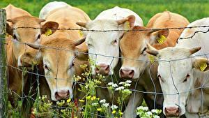 Bilder Kuh Zaun ein Tier