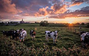 Bilder Kuh Acker Sonnenaufgänge und Sonnenuntergänge Wolke Sonne Tiere Natur