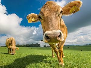 Bilder Kuh Grünland Großansicht Schnauze Kopf ein Tier
