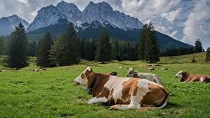 Hintergrundbilder Kühe Berg Grünland Liegen Gras ein Tier Natur
