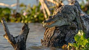Bilder Krokodile Unscharfer Hintergrund Alligator ein Tier