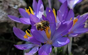 Fotos Krokusse Bienen Insekten Hautnah Violett Blüte