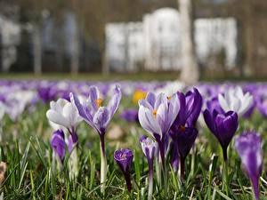 Fotos Krokusse Bokeh Blumen