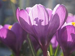 Tapety na pulpit Krokusy Zbliżenie Fiolet kwiat