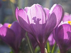 Bilder Krokusse Nahaufnahme Violett Blüte