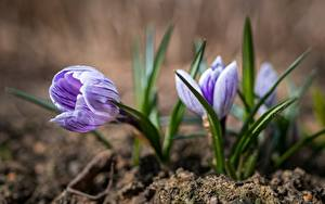 Tapety na pulpit Krokus Wiosna Zbliżenie Rozmazane tło Kwiaty