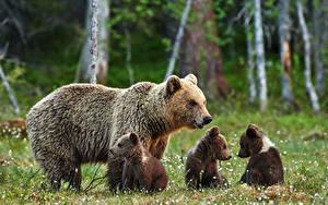 Hintergrundbilder Bären Jungtiere Braunbär
