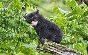 Hintergrundbilder Bären Jungtiere Braunbär Tremarctos ornatus