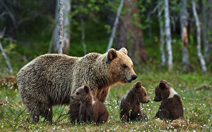 Hintergrundbilder Bären Jungtiere Braunbär Tiere
