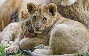 Bilder Jungtiere Löwe Blick ©Tambako The Jaguar