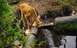 Bilder Babys Elch Ast Trinkt Wasser Tiere