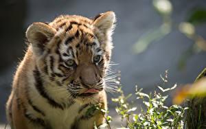 Bilder Jungtiere Tiger Starren
