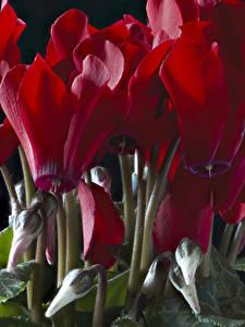 Fotos Alpenveilchen Großansicht Rot Blütenknospe Blumen
