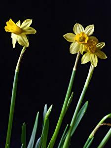 Bakgrundsbilder på skrivbordet Påskliljor Närbild Svart bakgrund Tre 3 Blommor