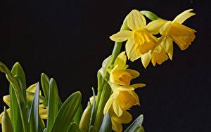 Bilder Narzissen Hautnah Schwarzer Hintergrund Gelb Blüte