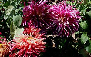 Fotos Dahlien Nahaufnahme Blumen