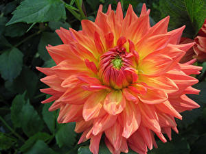 Bilder Georginen Hautnah Blumen
