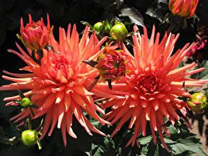 Fotos Dahlien Großansicht Blumen