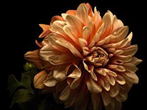 Bilder Georginen Großansicht Schwarzer Hintergrund Blumen