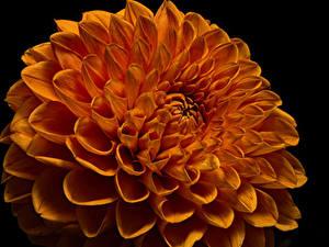Bilder Dahlien Hautnah Schwarzer Hintergrund Orange Blumen