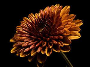 Hintergrundbilder Georginen Hautnah Schwarzer Hintergrund Orange Blumen