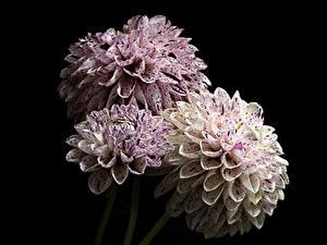 Fotos Dahlien Nahaufnahme Schwarzer Hintergrund Drei 3 Blüte