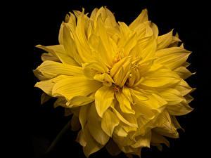 Hintergrundbilder Georginen Nahaufnahme Schwarzer Hintergrund Gelb Blüte