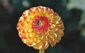 Fotos Georginen Hautnah Unscharfer Hintergrund Blüte