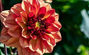 Hintergrundbilder Dahlien Hautnah Unscharfer Hintergrund Blumen