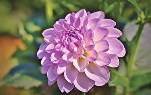 Hintergrundbilder Dahlien Nahaufnahme Unscharfer Hintergrund Rosa Farbe Blüte