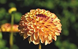 Bureaubladachtergronden Dahlia Van dichtbij Bokeh Geel kleur Bloemen