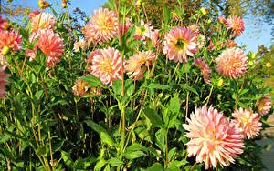 Bilder Dahlien Hautnah Blütenknospe Blüte