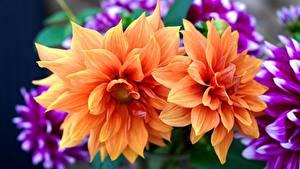 Desktop hintergrundbilder Dahlien Großansicht Orange Blumen