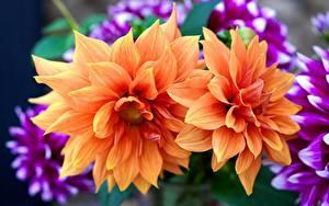 Fotos Dahlien Großansicht Orange Blumen