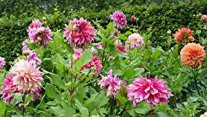 Hintergrundbilder Dahlien Nahaufnahme Rosa Farbe Blüte
