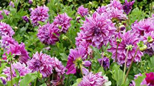 Hintergrundbilder Dahlien Hautnah Rosa Farbe Blüte
