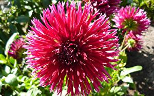 Hintergrundbilder Georginen Großansicht Rosa Farbe Blüte