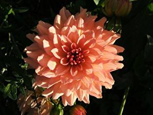 Fotos Georginen Nahaufnahme Rosa Farbe Blüte