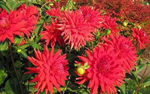 Fotos Georginen Nahaufnahme Rot Blumen