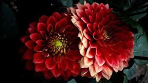 Bilder Dahlien Großansicht Rot Zwei Blumen