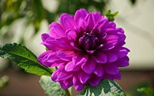 Fotos Georginen Hautnah Violett Blüte