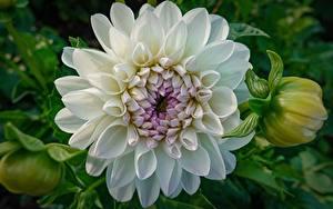Bilder Dahlien Großansicht Weiß Blumen