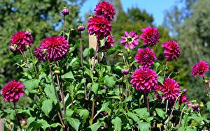 Hintergrundbilder Dahlien Hautnah Bordeauxrot Blumen